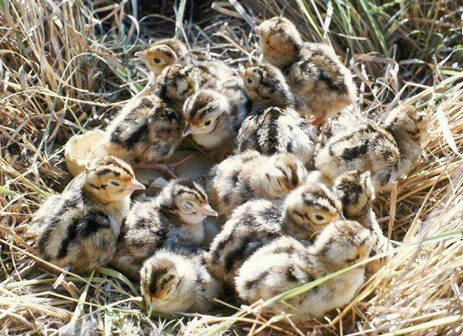 Гнездо для цесарок  фото