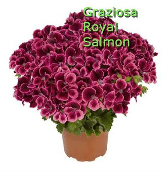 Graziosa Royal Salmon