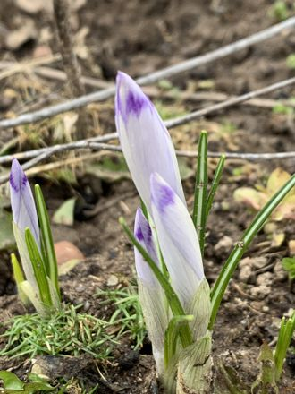 Crocus heuffelianus Shock Wave