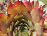 Sempervivum Goovy
