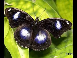 Живая бабочка Голубая Диадема - отличный подарок  на любой праздник в Томске. т. 8-953-921-08-14