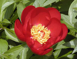 Пион Иллини Уориор (Paeonia Illini Warrior)