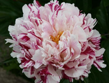 Пион Кэнди Страйп (Paeonia Candy Stripe)