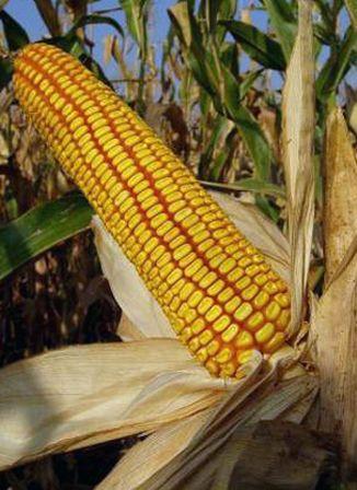 семена кукурузы Краснодарский 291