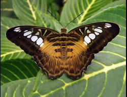 Живая бабочка Тигровая сильвия - отличный подарок  на любой праздник в Томске. т. 8-953-921-08-14