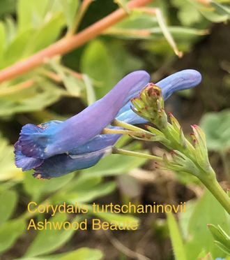 Corydalis turtschaninovii Ashwood Beaute