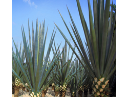 GOSULIN AGAVE