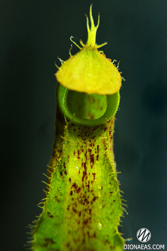 "Nepenthes ""Hookeriana"""
