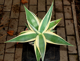 Agave guiengola 'Creme Brulee'