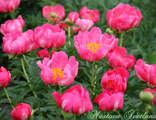 Paeonia Great Lady