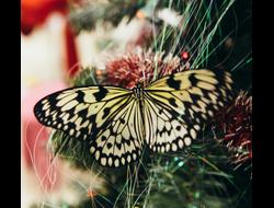 Живая бабочка Идея Левконоя - отличный подарок  на любой праздник в Томске. т. 8-953-921-08-14