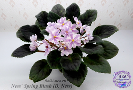 Ness` Spring Blush (D. Ness) 2019 г. https://fialki-nea.nethouse.ru/products/27948324#/