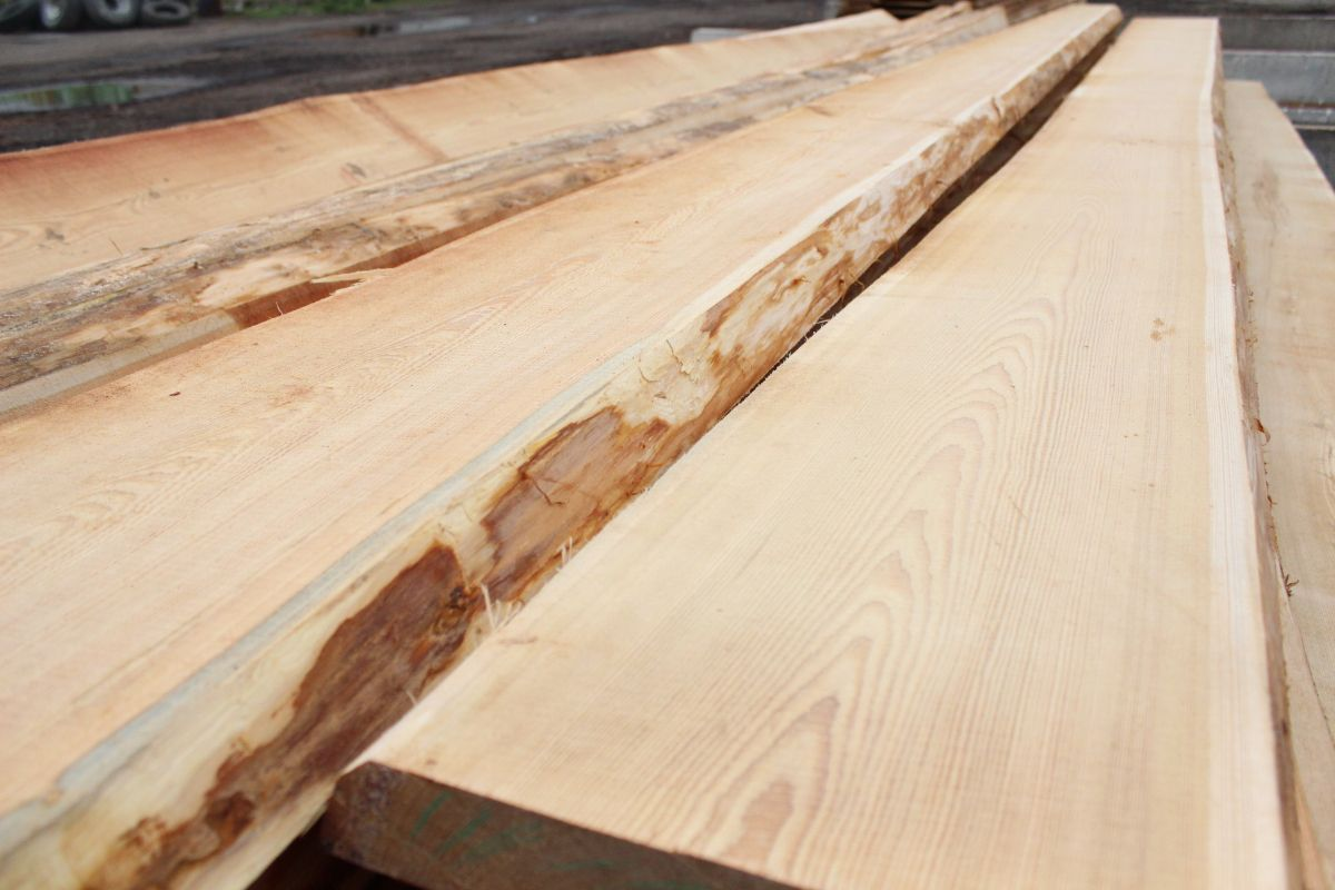 Siberian Larch from Russia