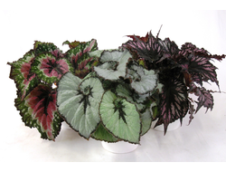 Бегония Begonia blad Rex mixed 13/25