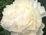 Paeonia Class Act