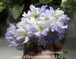 Lacey's Determination (Lyndon Lyon Greenhouses)
