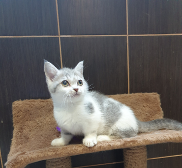 Available  female munchkin with our kittens you will get all documents: pedigree, veterinary passport (with chip), all documents for flight WhatsApp +79153222882