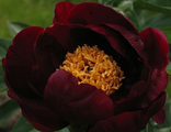 Пион Сэйбл (Paeonia Sable)