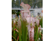Sarracenia Leucophylla pink and purple pitchers,  vigorous and tall plant