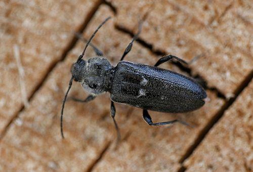 древесный жук фото
