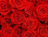 Розы красные Экстра-класс