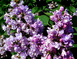 Сирень кустовая Катерина Хавемейер (Syringa vulgaris Katherine Havemeyer)