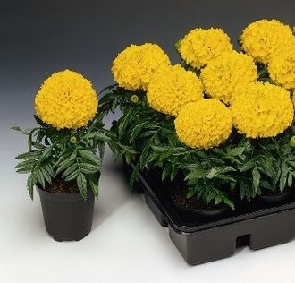 Тагетес TAGETES AFRICAN TAISHAN® GOLD