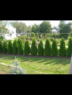 Посадка однорядной живой изгороди из хвойных растений