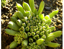 Sempervivum (Семпервивум)
