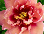 Пион Джулия Роуз (Paeonia Julia Rose)