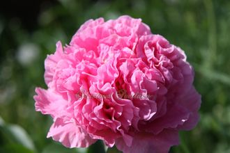 Paeonia Carnation Bouquet