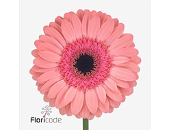 Gerbera diamond debut