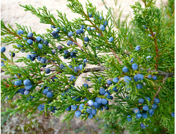 Можжевельник вирджинский (Juniperus virginiana) - 100% натуральное эфирное масло