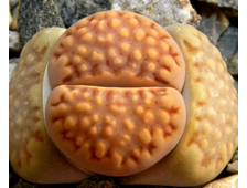 Lithops julii (Литопс Юлиуса)