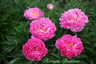 Paeonia Pink Kisses