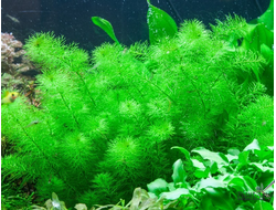 Rotala indica green