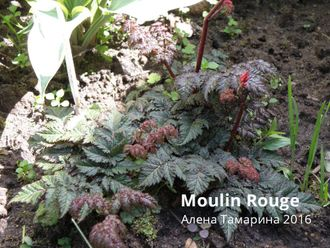 Астильба Мулин Руж (Astilbe Moulin Rouge)