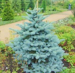"Ель колючая Олденбург / Picea pungens ""Oldenburg"" (100-150 см)"