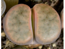 Lithops schwantesii (grey form) C164 (MG-1719.5) - 5 семян