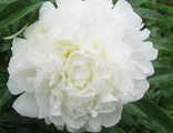 Пион Мазез Чойс (Paeonia Mother's Choice)