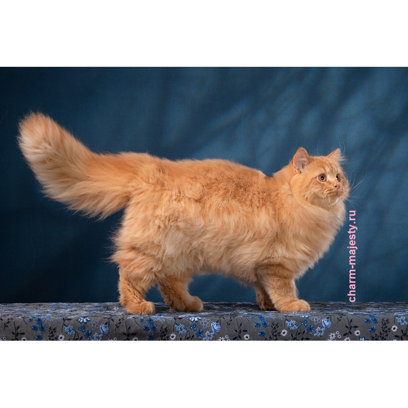 photo British longhair kitten red cattery charm majesty