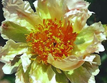 Пион Грин Лотус (Paeonia Green Lotus)