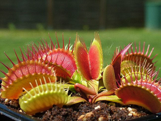 "Dionaea muscipula ""Dutch"""