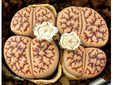 Lithops bromfieldii v.mennellii pale selection (MG-1561.8) - 5 семян
