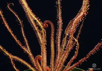 Drosera Filiformis Red
