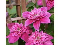 Клематис Май Дарлинг (Clematis My Darling), ЗКС