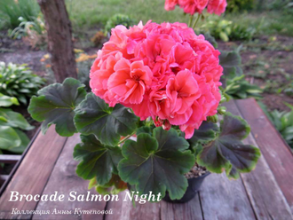 Пеларгония Brocade Salmon Night