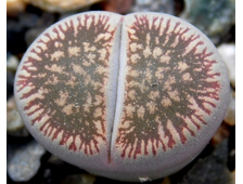 Lithops aucampiae (Литопс Аукамп)