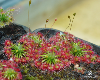"Drosera ""Occidentalis var. microscapa"""