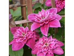 Клематис Май Дарлинг (Clematis My Darling), ОКС